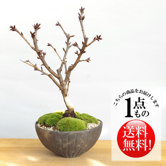 牡丹桜盆栽