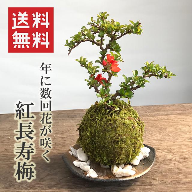 送料無料!【紅長寿梅(べにちょうじゅばい)の苔玉・黒備前小器セット】