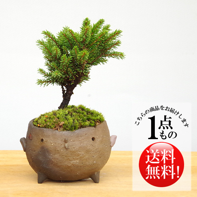 エゾマツ盆栽