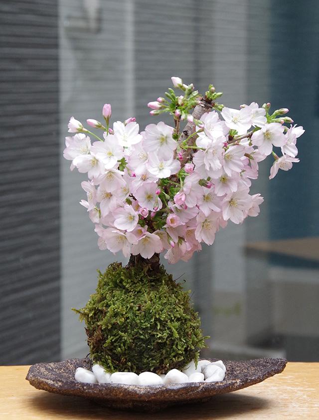御殿場桜苔玉くらま岩器2016