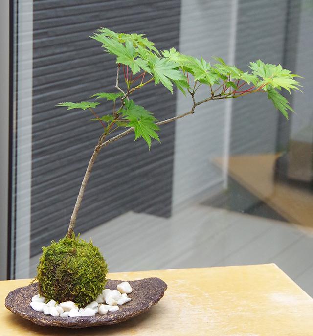 ハウチワカエデ苔玉くらま岩器2016m
