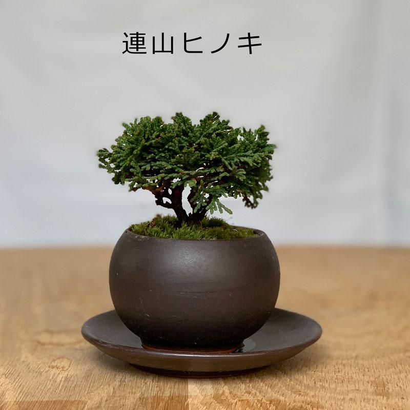 連山ヒノキ
