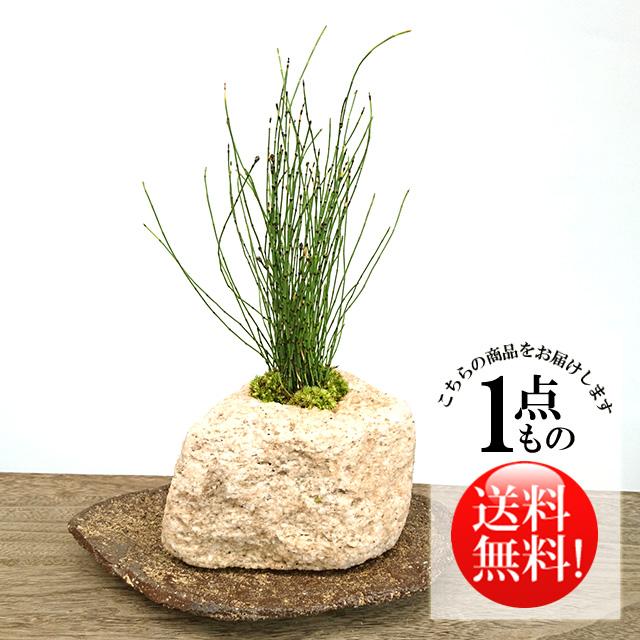 姫トクサ盆栽