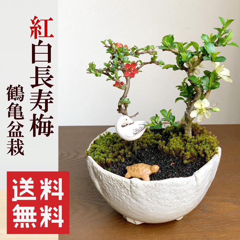 縁起盆栽【紅白長寿梅(コウハクチョウジュバイ)鶴亀盆栽】送料無料!