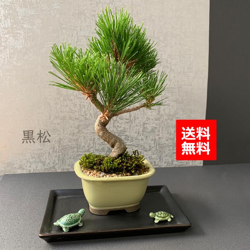 縁起良し 【黒松盆栽(長方青角鉢)亀・黒皿付】