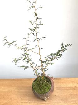 ソフォラ盆栽
