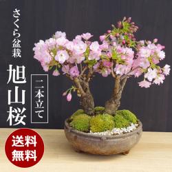 旭山桜二本