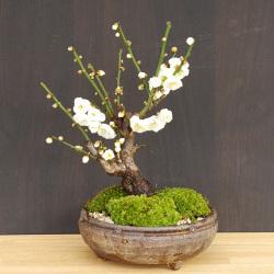 白梅盆栽20170124