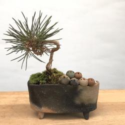 クロマツの盆栽