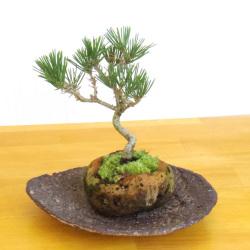 黒松盆栽軽石