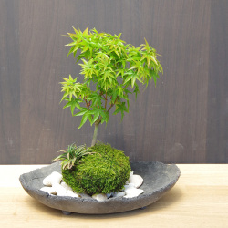 小さい葉が特長の清姫を苔玉に仕立てました【モミジ(清姫)の苔玉・炭化焼締器セット】
