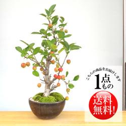 姫リンゴ盆栽