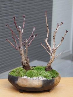 桜咲き分け盆栽20140128m
