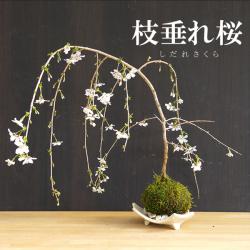 枝垂れ桜 苔玉