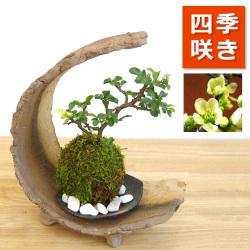 海岸から迫り出したような景色【白長寿梅(シロチョウジュバイ)の苔玉・三日月型 盆栽・苔玉飾り台・器セット】