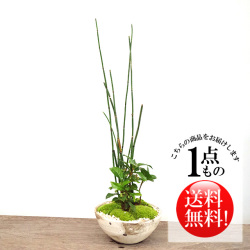 トクサ盆栽