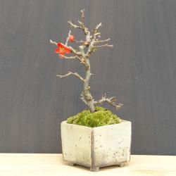 紅長寿梅盆栽