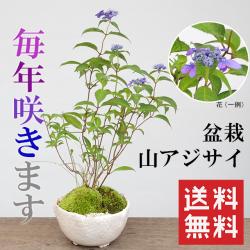 季節の移ろいを感じませんか【山紫陽花(やまあじさい)の盆栽(白陶器鉢)】山アジサイ