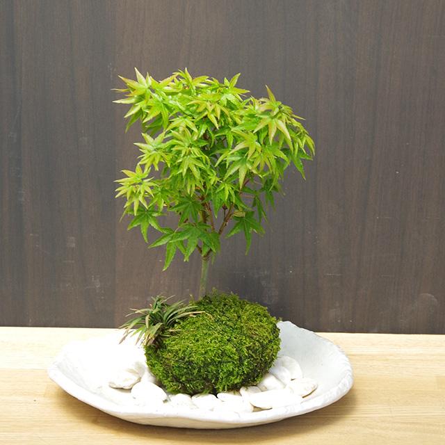 小さい葉が特長の清姫を苔玉に仕立てました【モミジ(清姫)の苔玉・楕円白粉引器セット】