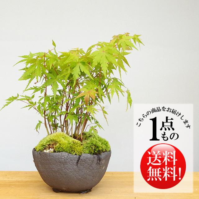 ヤマモミジ盆栽