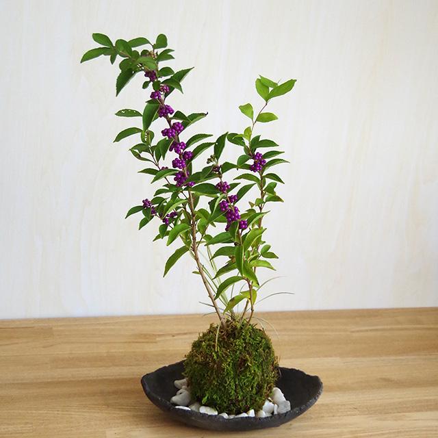 紫式部苔玉2016炭化焼締器