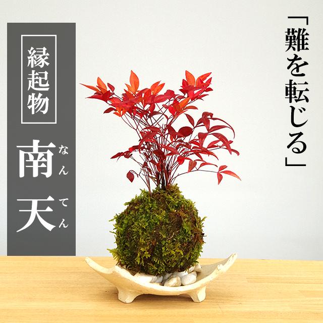 南天苔玉20170131