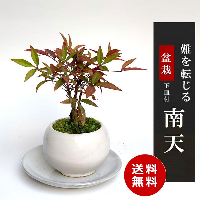 送料無料でお届け!いにしえの和をお届けします【南天(なんてん)の盆栽(白陶器鉢)・下皿セット】