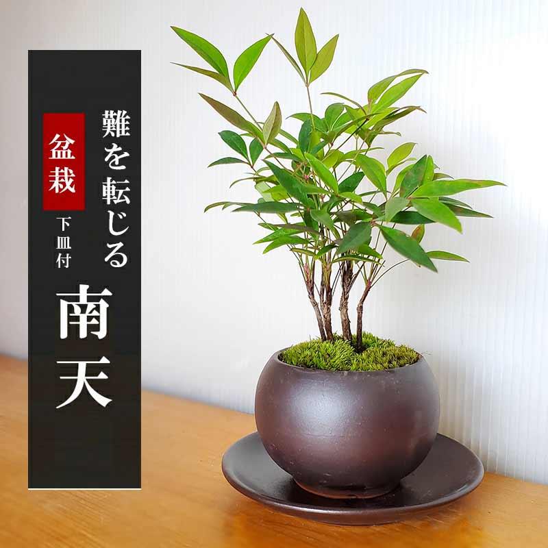 送料無料でお届け!いにしえの和をお届けします【南天(なんてん)の盆栽(黒陶器鉢)・下皿セット】