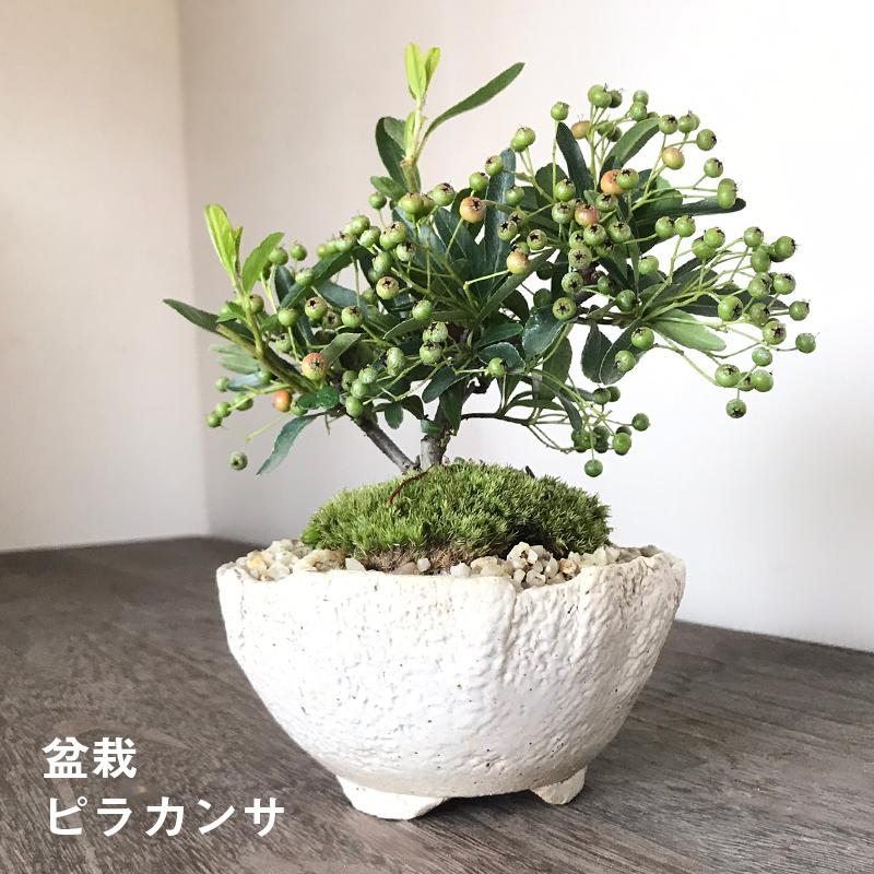 送料無料でお届け。一年中楽しめる花咲く実がなる【ピラカンサの盆栽(万古白鉢)】