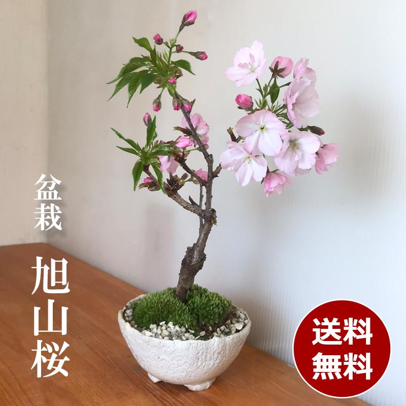 【2021年開花終了】送料無料。桜・・・そう聞くだけで心和む景色を貴方のもとへ【旭山桜(あさひやまさくら)の盆栽(白万古深鉢)】