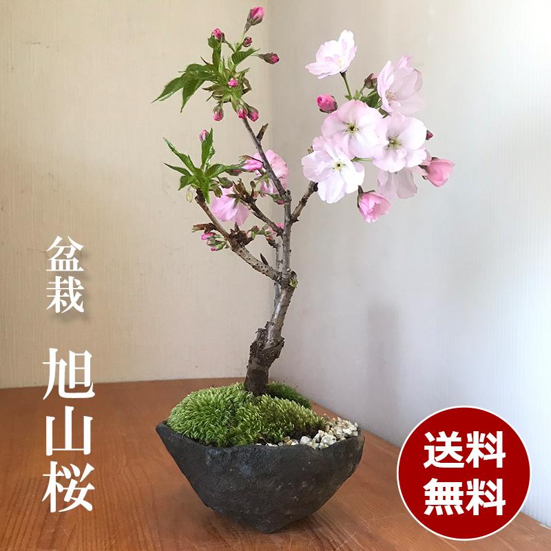旭山桜 20191203
