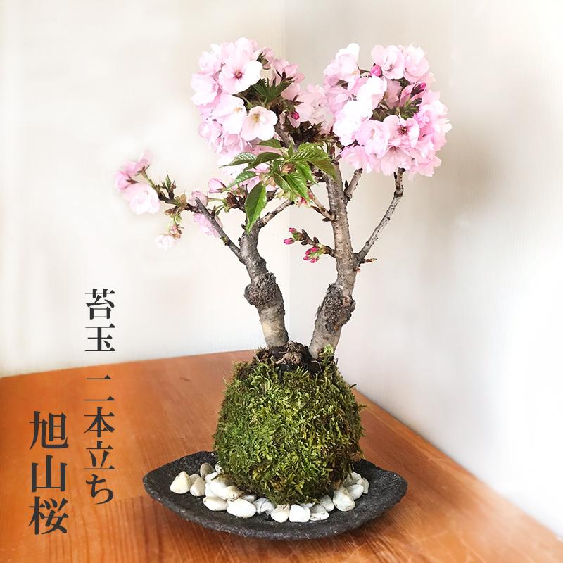 桜・・心和む景色をおとどけします【桜(旭山桜)の二本植え苔玉・くらま器セット】