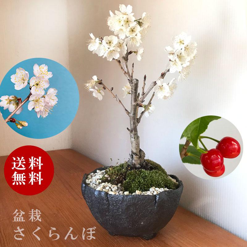 2021年開花終了 盆栽 サクランボ 花を愛で実をたのしめるさくらんぼ 萬古焼・深丸黒鉢 四日市 鉢 桜桃