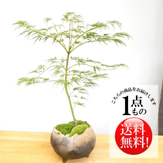青枝垂れ盆栽