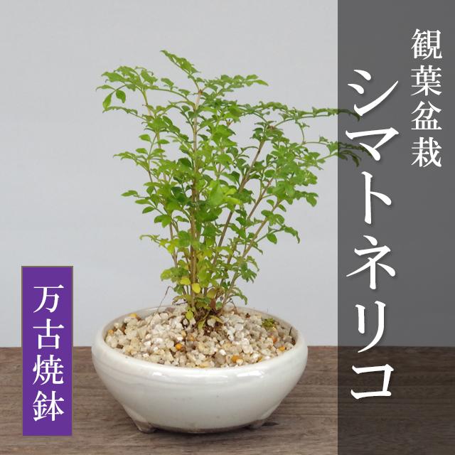 シマトネリコ観葉盆栽