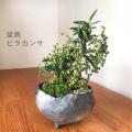 送料無料でお届け。一年中楽しめる花咲く実がなる【ピラカンサの盆栽(炭化焼締鉢)】