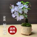 旭山桜トリ鉢