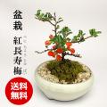 送料無料でお届け!年に数回可憐な花が楽しめます【紅長寿梅(べにちょうじゅばい)の盆栽(万古焼白鉢)】