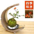 海岸から迫り出したような景色【紅長寿梅(ベニチョウジュバイ)の苔玉・三日月型 盆栽・苔玉飾り台・器セット】