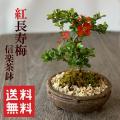 長寿梅盆栽