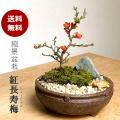紅長寿梅 盆栽