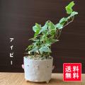 送料無料  アイビーのミニ盆栽 鉢 真山茜