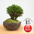 九十九ヒバ盆栽