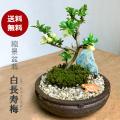 白長寿梅 盆栽