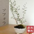 送料無料!盆栽 ソフォラ 万古焼白深鉢 かわいい盆栽 ソフォラ・プロスタータの盆栽