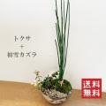 トクサハツユキカズラ盆栽