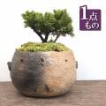 やさしい雰囲気の松【八つ房蝦夷松(エゾマツ)の盆栽(炭化焼締鉢)】