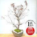 富士桜盆栽