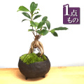 ガジュマル盆栽230190726