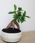 ガジュマル鉢植え白2015m